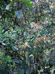 Bejaria aestuans (Ericaceae) habit view