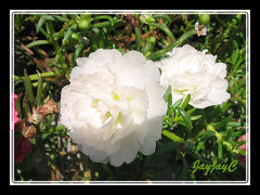 Portulaca grandiflora 'Sundial White'