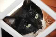 Le chat coq: il ne mange qu'on piquetant dans l'assiette (chacal) (Citizen59) Tags: cats black animal animals cat zoo chats chat noir animaux chacal gattous bestofcats