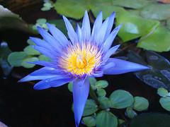 Beautiful Ocean Blue Lotus / ดอกบัวสีน้ำเงิน