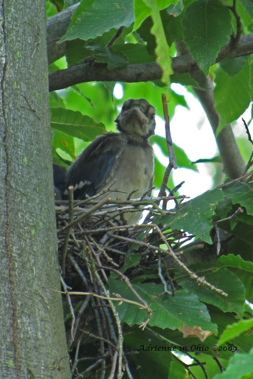 blue jay nestling photo by Adrienne in Ohio