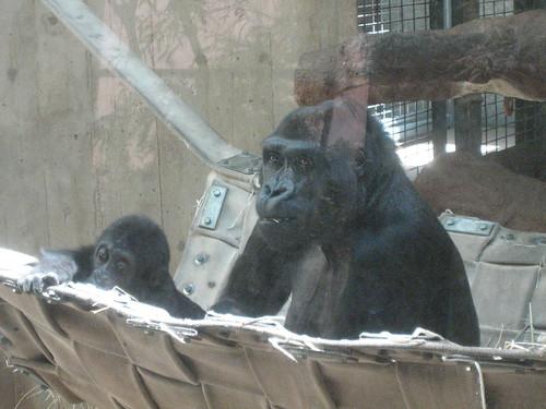 4/27/10-NatlZoo, Baby Gorilla