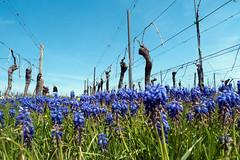 Blue flowers in red wine field (PauPePro) Tags: flowers hiking blumen weinberg muscari wanderung göcklingen