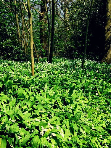 wild garlic KK