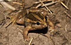 Discoglossus jeanneae (David Herrero Glez.) Tags: madrid frog toad amphibians anfibios meridional sapillo anuros anure pintojo discoglossus jeanneae
