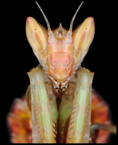 Creobroter gemmatus nymph