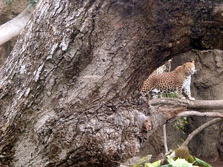 jaguar-bioparc