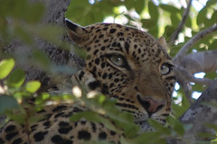 close up of leopard