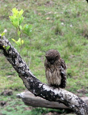 brown fish owl k gudi 170308