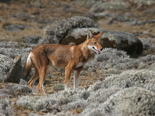 Ethiopian Wolf  ( Canis simensis )