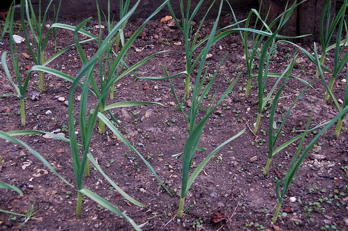 Our crop of garlic plants