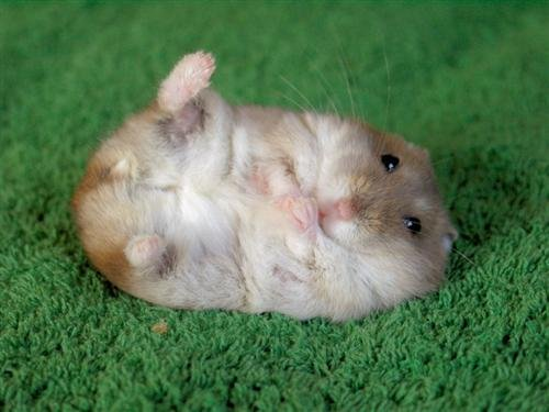 This Just In: Hamster Kills Three Humans! | ScienceBlogs