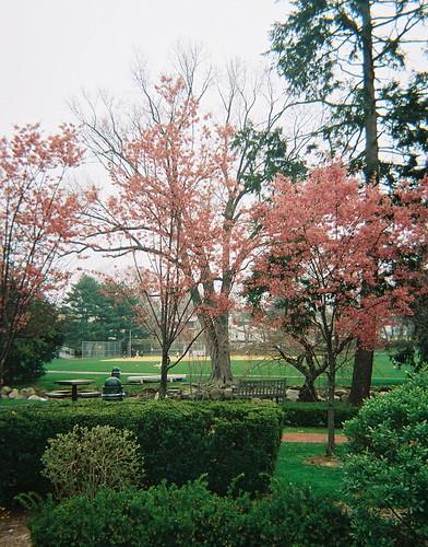 Cherry Blossoms, Taylor Park - Millburn, NJ - II