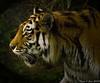 Tiger (Jan Linskens) Tags: animal cat zoo kat tiger duisburg tijger dieren tiergarten dierentuin aplusphoto janlinskens tiergartenduisburg