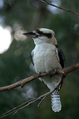 Kookaburra - Explored (crafty1tutu (Ann) (trying to catch up)) Tags: nature birds animals australia animalplanet kookaburra birdwatcher naturesfinest supershot featheryfriday top20birds abigfave birdsasart anawesomeshot impressedbeauty isawyoufirst diamondclassphotographer flickrdiamond citrit onlythebestare naturewatcher betterthangood theperfectphotographer natureislovely ilovemypics allkindsofbeauty naturethroughthelens envyenvied 100commentgroup
