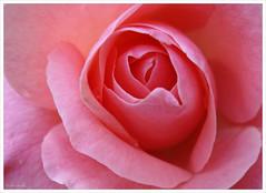 "Rosa bajo la lluvia. Jardines del Alczar. Sevilla (""GALBA"") Tags: pink lluvia sevilla flor jardin rosa alcazar galba jardinesdelalcazar top20pink top20everlasting gonzlezalba"
