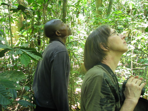 searching the canopy for primates