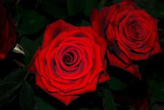 Two Hearts (itala2007) Tags: flowers red roses flower macro nature rose nikon couple heart explore grandprix sharing differences redroses redflowers gbr imagepoetry samepath d80 seeninexplore itala2007 multimegashot justproject
