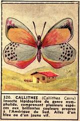 papillon 320