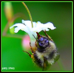 Collecting pollen (Garry's lens....) Tags: flower macro nature beauty pretty small bee diamondclassphotographer flickrdiamond wonderfulworldofflowers
