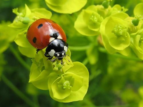 [フリー画像] 動物, 昆虫, てんとう虫・テントウムシ, 200807130900