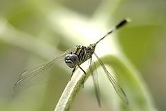 Small helicopter (aZ-Saudi) Tags: plants nature fly dragon small arabic helicopter oasis saudi arabia ksa drone alhasa طبيعة platinumphoto arabin يعسوب beautifulmonsters ِarabs