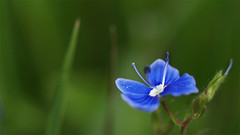 Germander Speedwell (mistermacrophotos) Tags: blue macro forest denmark wildflower danmark speedwell germander mywinners