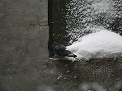 P1040451 Pigeon in Snow (Laurie Spiegel) Tags: winter snow animals wildlife pigeons urbannature urbanwildlife
