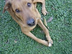 Jug conmigo, dej de sacar fotos ! (al natural) Tags: perro hermoso corcho alejo gordito treboles