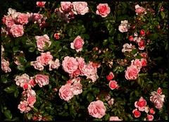 As pretty as it gets (Kirsten M Lentoft) Tags: pink flower rose garden bighugs youmademyday momse2600 mmmuahhhhh goodnightdearest mmuahhh thegreatphotoalbum kirstenmlentoft