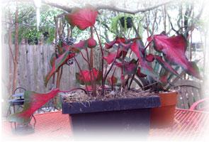 Caladium bicolor (?)