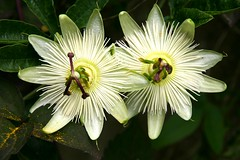 TWINS WITH GOLDDUST (Anne-Miek Bibbe) Tags: flowers flower nature june juni garden nederland thenetherlands natuur tuin 2008 passionflower bloemen bloem passiebloem naturesfinest bibbe abigfave annemiekbibbe june2008 juni2008