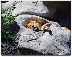 the lion sleeps tonight (suesue2) Tags: sleeping zoo michigan lion detroitzoo huntingtonwoods suesue2 amazingmich visiongroup