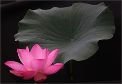 Lotus Flower IMG_6288 (Bahman Farzad) Tags: china red india inspiration flower macro yoga tattoo thailand truth key cambodia peace lotus blossom relaxing calming peaceful lo teacher sacred meditation therapy budha elegant inspirational spiritual simple hindu soulful heavenly buda tatto peacefulness devine lotusflower therapist lotusflowers lotuspetal lotuspetals soulfulflower lotusflowerpetals lotusflowerpetal