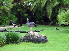 Bush Gardens FL (Tiger_Jack) Tags: bird birds animals zoo amusementpark zoos amusementparks themeparks bushgardens itsazoooutthere zoosofnorthamerica