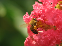 Watermelon Crepe Myrtle (rickm FL) Tags: nature searchthebest bee watermelon explore honey crepemyrtle summersunday cherryontop supershot brooksvillefl abigfave naturecoast anawesomeshot ultimateshot isawyoufirst overtheexcellence exquisiteshots richardsphotography newgoldenseal