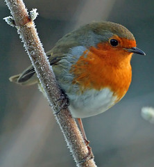 winter robin (earlyalan90 away awhile) Tags: platinumphoto aplusphoto excapturemacro vosplusbellesphotos