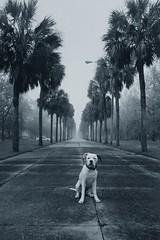 Crescent Pup (MilkaWay) Tags: dog film puppy palmtrees savannah milka 6monthsold chathamcounty americanbulldog coastalgeorgia p1f1 sayawww robertocarboni milkamonday andhaveagreatweek chathamcrescent butilikehisstuff
