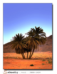 [  ] (Salamah.y) Tags: family tree hail palms high palm saudi arabia range hdr  dynamik salamah                 salamahy