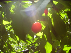 Hiding cherry (Bogyca) Tags: shadow red cloud sun tree nature leaves fruit garden cherry leaf branch arm natural hide shade lovepeace hiding shady