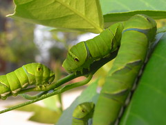 "I want to advance straight! (""KIUKO"") Tags: butterfly caterpillar swallowtail"