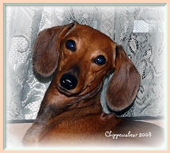 My Sweet Maggie (chippewabear) Tags: rescue dog chien dogs puppy fdsflickrtoys dachshund perro wienerdog badgerdog