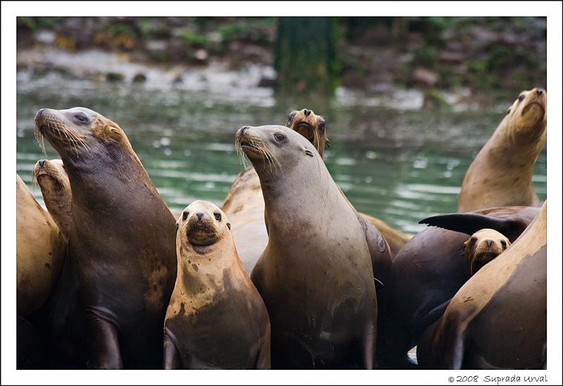 Sea Lions - 4
