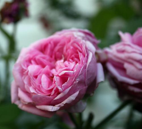Compte de Chambord rose