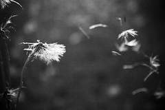 Make a Wish! (avhendrix) Tags: life camera blackandwhite bw flower texture love monochrome childhood fly weed wind magic grain happiness away blow dandelion wish left