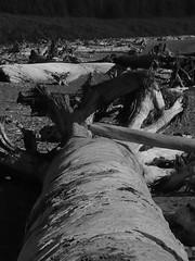 Graveyard (linz bobinz) Tags: trees beach bc roots vancouverisland driftwood portrenfrew oldgrowth