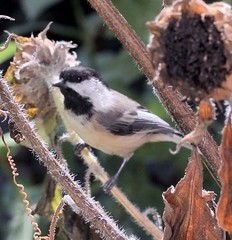 chickadee on the sunflowers 2b2