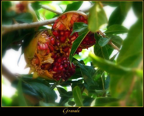 fruto del granado