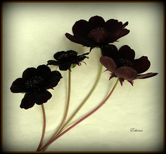 Chocolate Cosmos (EdwinaFran) Tags: flower 1001nights digitalcameraclub anawesomeshot aplusphoto macroflowerlovers macroflowerslovers mimamorflowers kunstplatzlinternational 100commentgroup flickrflorescloseupmacros edwinafran