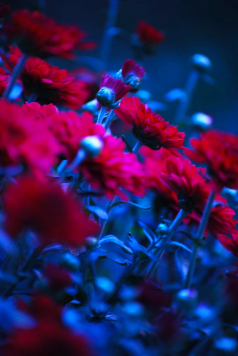 TLW Photography 拍摄的 Red Flowers。